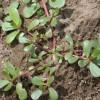 Semizotu salatası tarifi ve yapımı