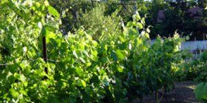 Asma yaprağı salamurası tarifi